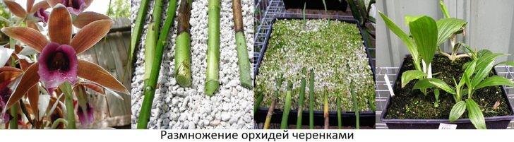 Как правильно размножать орхидею и ухаживать за ней