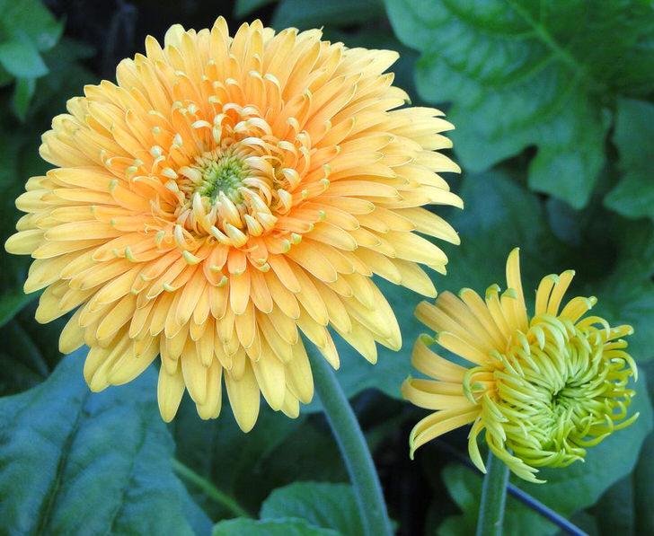 Очаровательны и милы домашнии герберы с махровыми, нежно кремовыми соцветиями можно выращивать на подоконниках в кашпо.