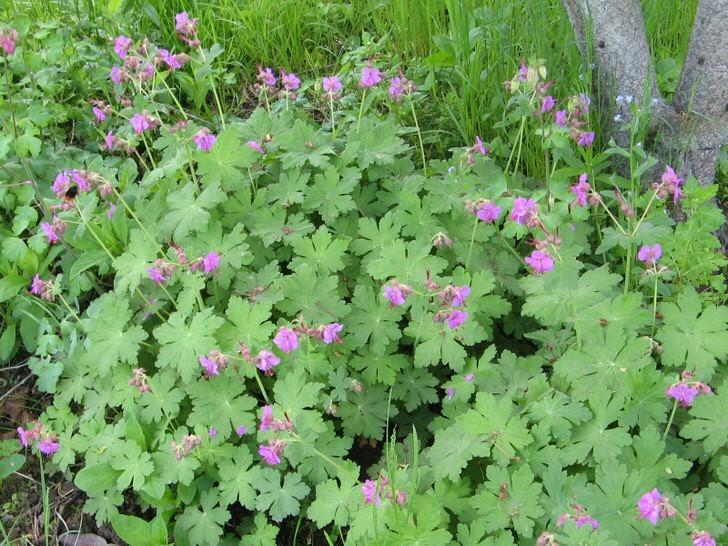 Нежно-зелёная купальщица с фиолетовыми колокольчиками легко приживается на тенистом, влажном участке сада.