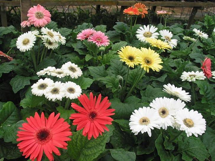На садовом участке яркие цветы герберы с прямым и прочным стеблем хорошо смотрятся в центре клумбы.