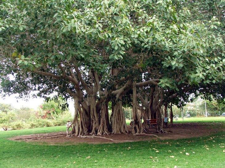 Бенгальский фикус - дерево из семейства Тутовых, произрастает в теплых странах Индии, Таиланде, Шри-Ланке, Бангладеш. При благоприятных условиях, или рукотворно, бенгальский фикус достигает огромных размеров за счет свисающих воздушных корней с горизонтальных стволов дерева. Корни опускаются вниз и если не засохнут укореняются, давая дереву разрастаться вширь. Окружность кроны такого дерева может достичь 600 метров.
