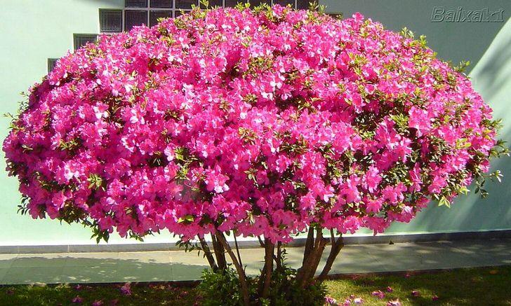 Популярность петунии среди садоводов обусловлена декоративными качествами, большим разнообразием цветов, геометрических форм.