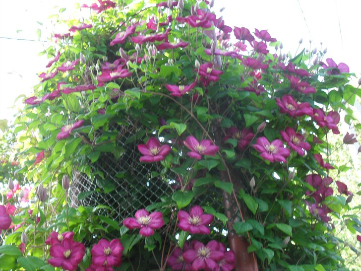 Вьющийся клемантес создан для создания вертикального озеленения сада, дайте только точку опоры.