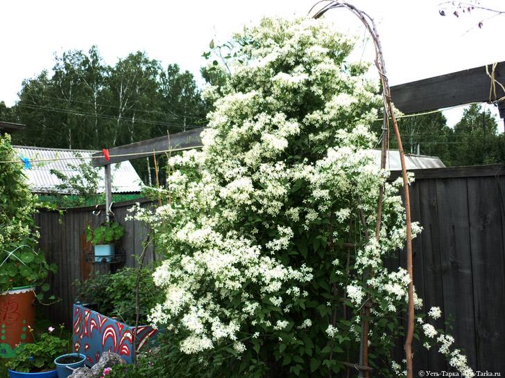 Пушистая ель украшенная белоснежными бутонами - таким может быть клемантес в умелых руках терпеливого садовода.