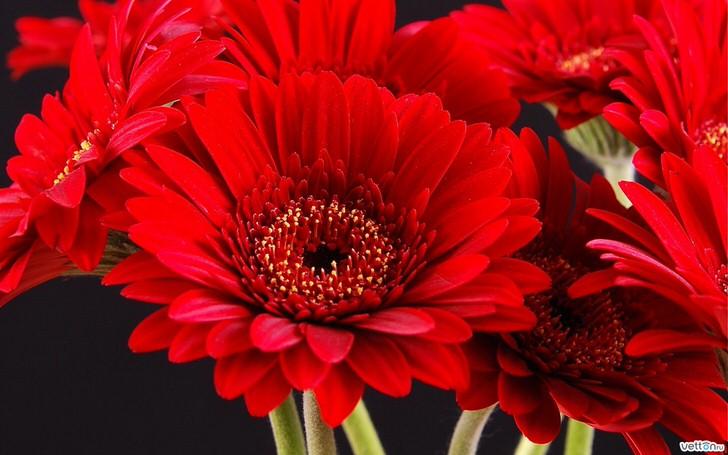 Ярко-красные цветы герберы красивы сами по себе и успешно применяются флористами для создания красивых букетов.