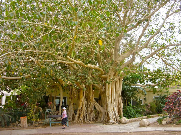 В Таиланде фикус считают священным деревом и как символ изображён на гербе страны.