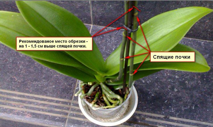 Рекомендации по обрезки куста орхидеи.