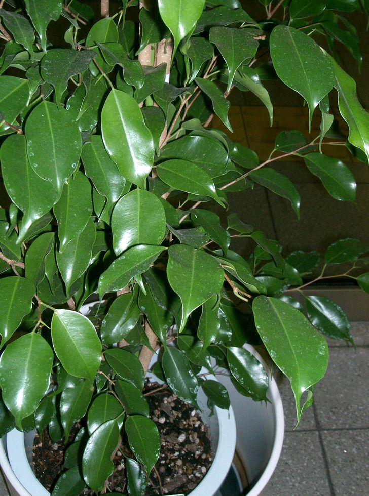 Фикус Бенджамина. Древовидное растение из которого любители кропотливо формируют бонсай (искусство выращивания карликовых деревьев в декоративных целях).