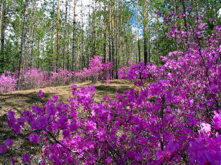 Цветущий багульник в Забайкальской тайге. Для Забайкалья этот удивительный по красоте кустарник является символом края.
