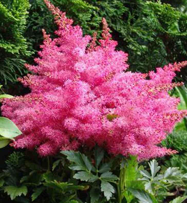 Пышные цветы астильбы