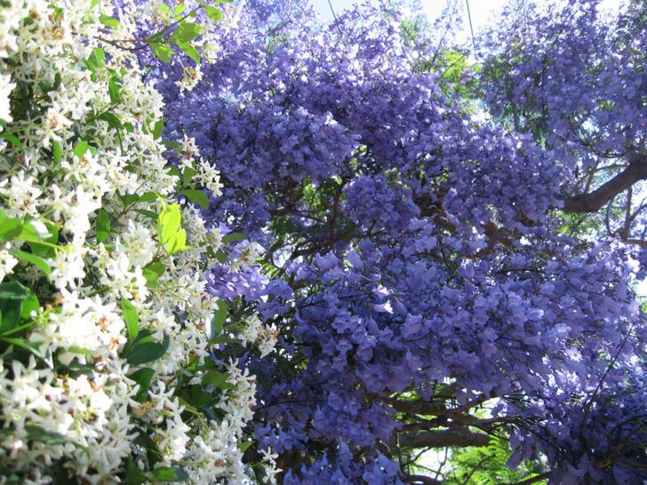 """Южную красавицу, кустарник жасмин называют """"королём всех цветов"""" за необыкновенно насыщенный аромат и красоту."""