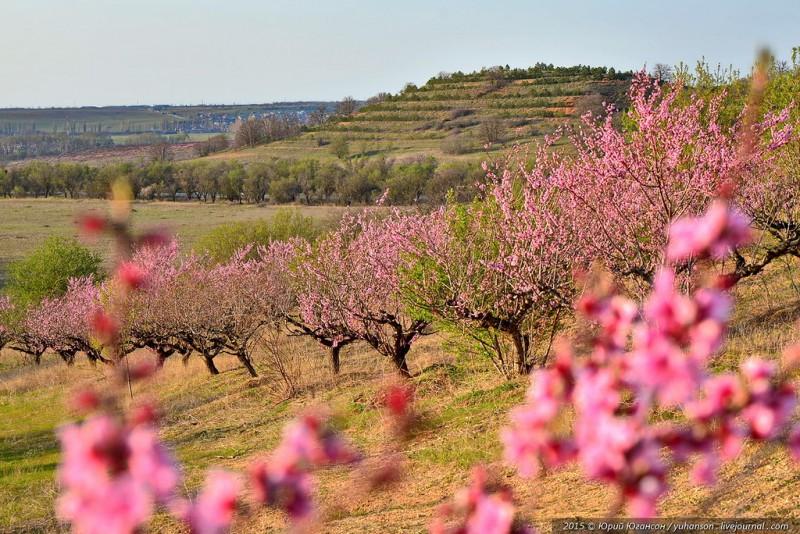 Цветущие кустарники миндаля на склоне Крымских сопок.