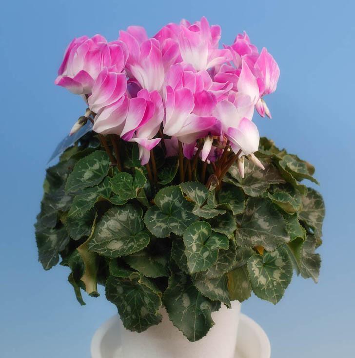 Цикламена или Альпийская фиалка. На родине в тёплом Средиземноморье цикламена обильно цветёт в зимний период.