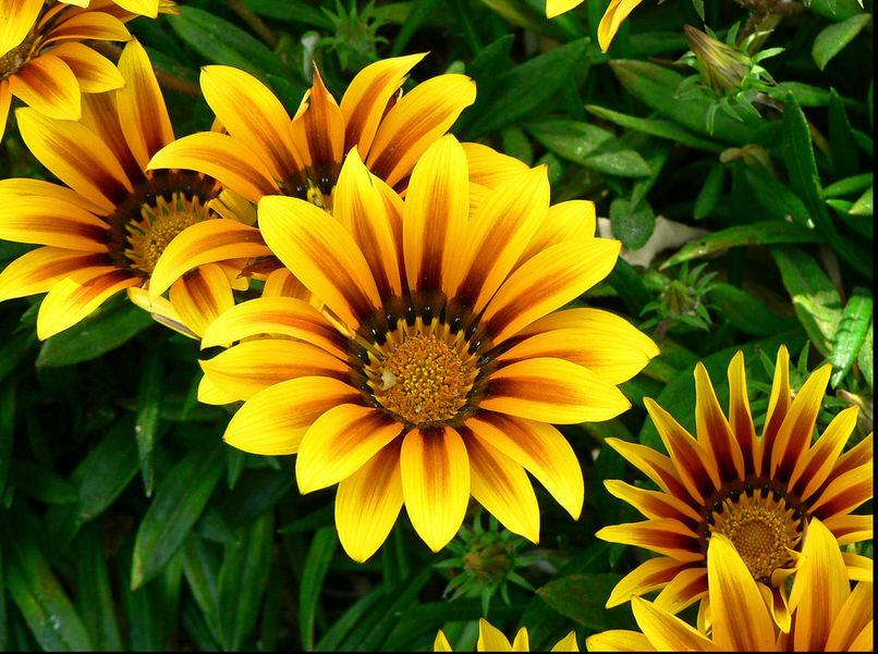 Родина этого яркого цветка из семейства астровых Южная Африка.