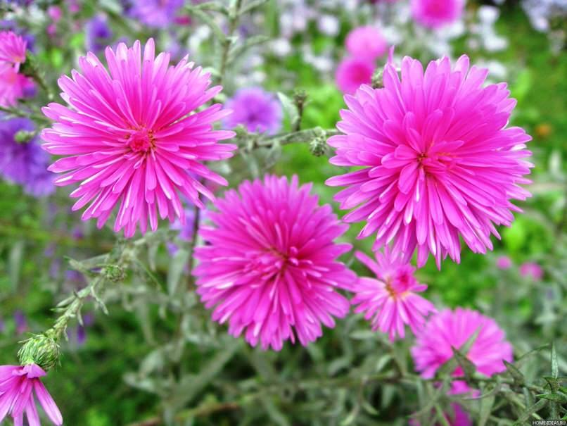 Астра альпийская, продолжительное время пышным цветением, неприхотливы.