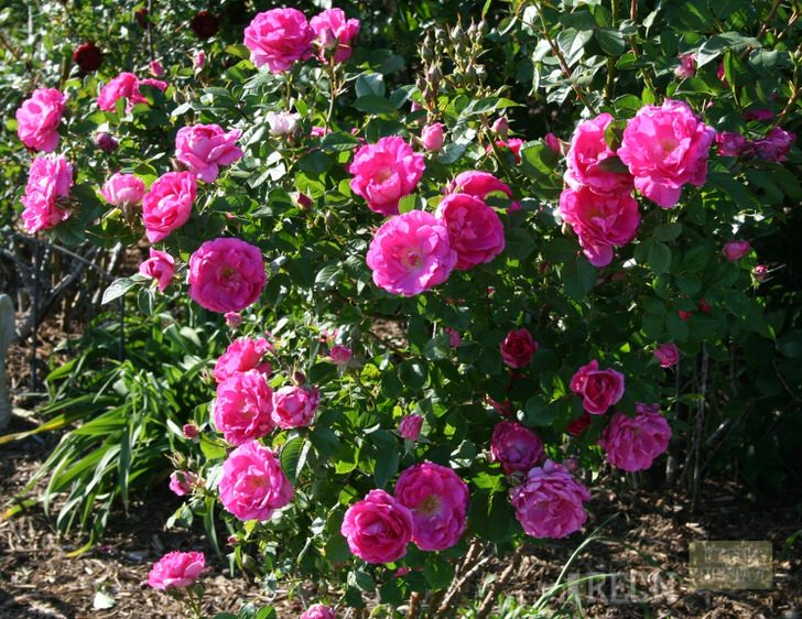 Бутоны розы Morden Centenuial