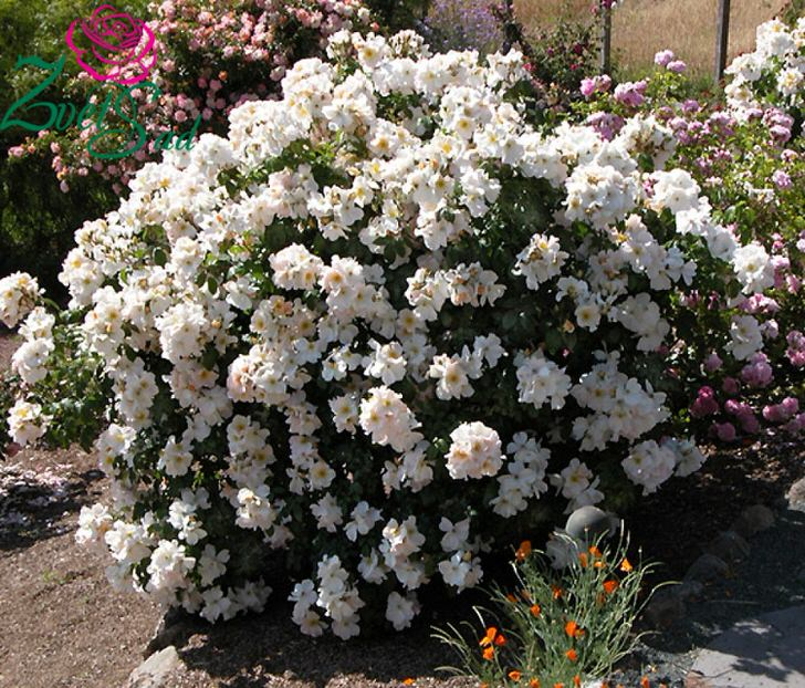 Благоухающий куст белой розы - сорт Салли Холмс.