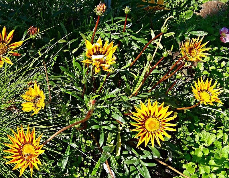 На зиму куст гацании можно выкопать и посадить на зимовку в горшок. Африканская красавица хорошо переносит сухой воздух зимней квартиры.