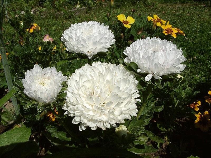 Пышный цветок