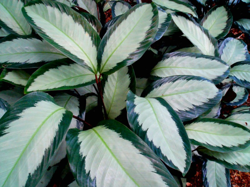 Объемные листы калатеи
