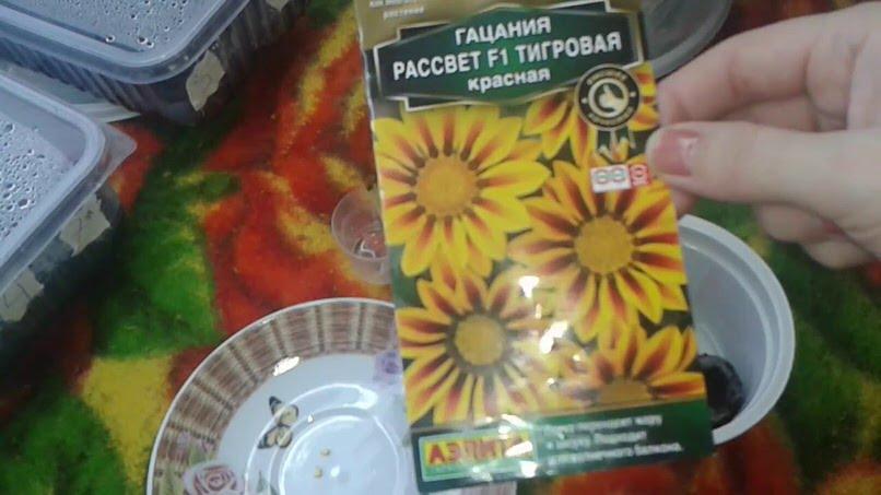 В России двухлетнюю гацанию выращивают из семян с последующей посадкой в открытый грунт.