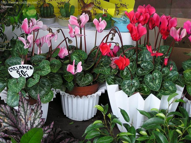 Выбирая место в комнате для цикламен необходимо уитывать, то цветок требует светлое, но не прямое солненое освещение.