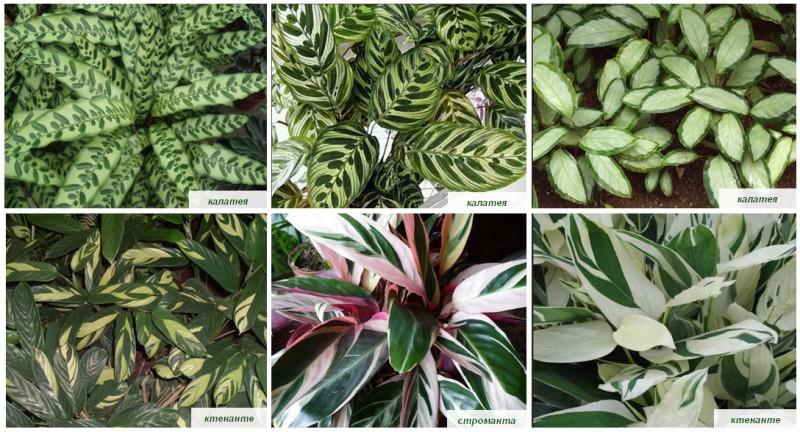 Растение калатея - уход в домашних условиях