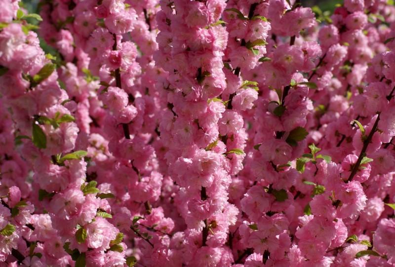 Кустарник миндаль относится к красивоцветущим. Миндаль трехлопастной Розовая пена.