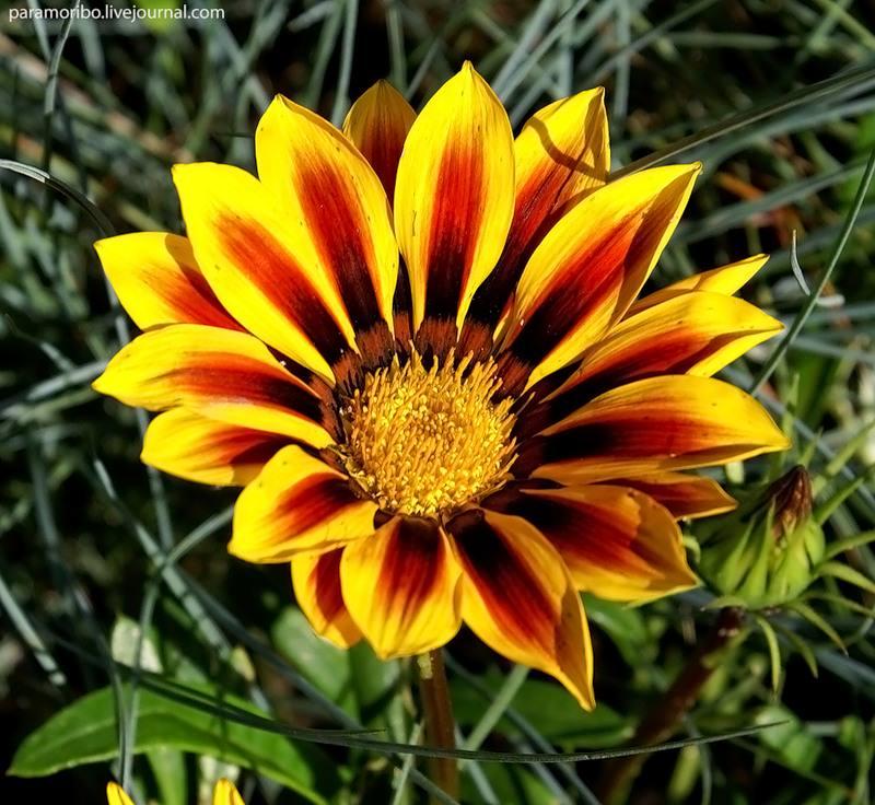 На одном кусте гацании 9 соцветий, которое цветёт 15-20 дней.