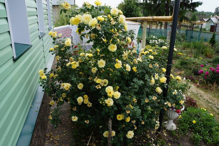 Розы под окном дома