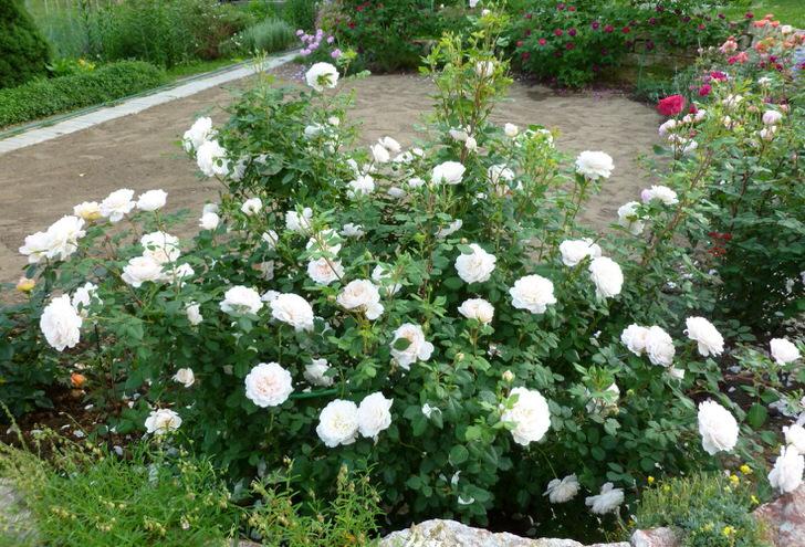 Английские розы.
